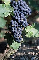 Europe/France/Aquitaine/33/Gironde: Cépage rouge - Cabernet sauvignon