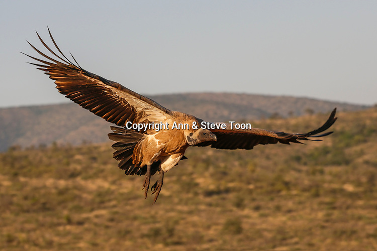 Whitebacked vulture (Gyps africanus) in flight, Zimanga private game reserve, KwaZulu-Natal, South Africa, May 2017