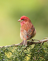 Purple finch adult male perched on a western hemlock branch surveying his territory.<br />
