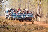 Bengal tiger, Panthera tigris tigris, walking on the dirt road, followed by tourists on safari 4x4 vehicles, park rangers, Tadoba Andhari Tiger Reserve, Tadoba Andhari National Park, Chandrapur, Maharashtra, India