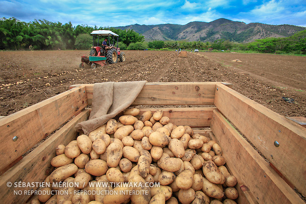 harvesting potatoes in bourail new caledonia tikiwaka new caledonia stock photo. Black Bedroom Furniture Sets. Home Design Ideas