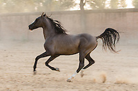 Marwari stallion running at sunset, Nawalgarh, Rajasthan, India