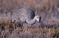 Sandhill Crane, Grus canadensis,adult in frost, Bosque del Apache National Wildlife Refuge , New Mexico, USA