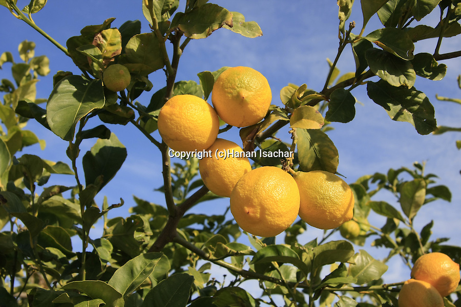 Israel, Shephelah region. Lemon grove by route 353 .