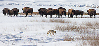 Coyotes (and bison) are one of Yellowstone's common winter residents.