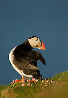 Atlantic Puffin Fratercula arctica resting, Fair Isle, Scotland, UK