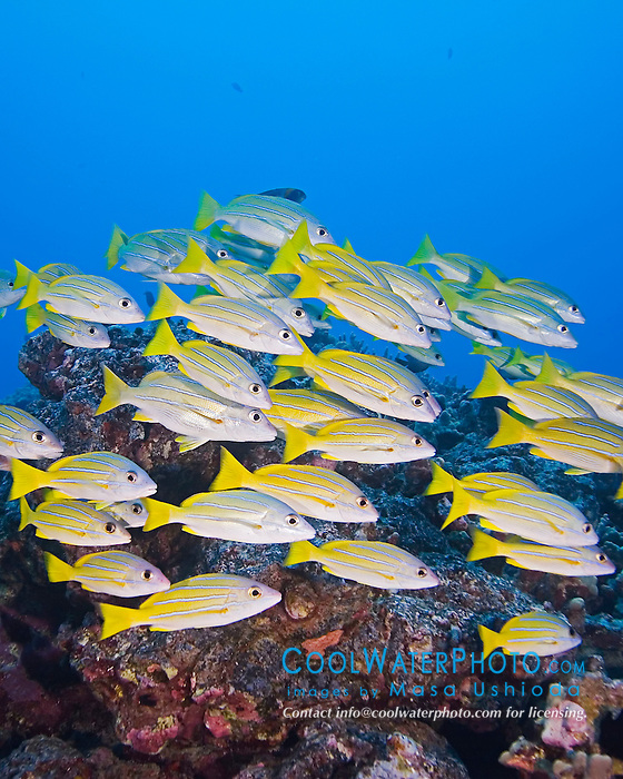 Schooling Bluestripe Snappers, Lutjanus kasmira, off Kona Coast, Big Island, Hawaii, Pacific Ocean