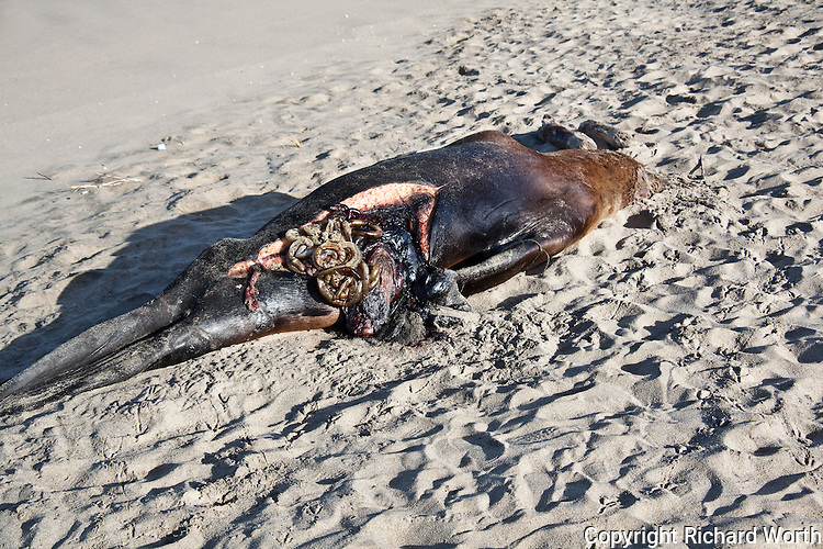 Four days after its discovery on Pomponio State Beach, a sub-adult, male Steller sea lion shows signs it has  been examined by a representative of the Marine Mammal Center.  Examination found that Its stomach was empty, there was no evidence it had been shot.  Cause of death:   'undetermined' - another  of many unexpalined Steller sea lion deaths.  The Steller sea lion is listed as a threatened/endangered species.