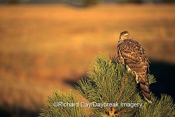 00785-002.02 Northern Goshawk (Accipiter gentilis) immature in pine tree   CO
