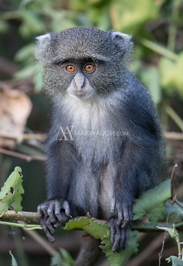 We had some excellent blue monkey shoots in Arusha National Park. This was the youngest of the blue monkeys we saw.
