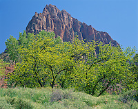 Zion National Park, UT: Hillside of cottonwood trees with the Watchman in the distance in early summer