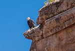 Endangered Condor