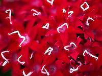 Close up of Grafiti Red Lace.