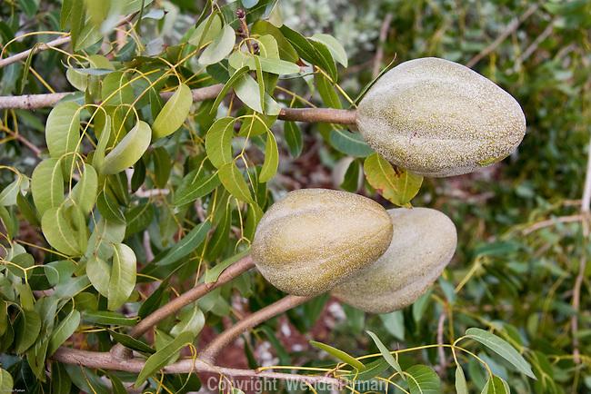 Mahogany seed pods.