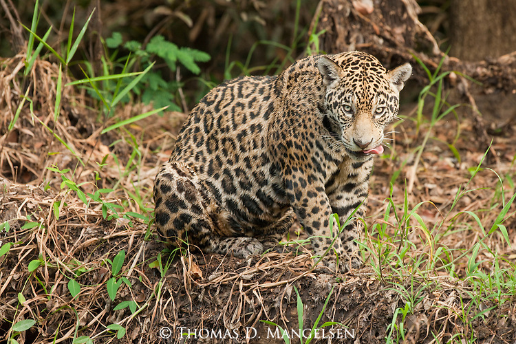 A jaguar sits on the bank of the Corixo Negro River at the edge of the jungle in the Pantanal of Brazil.