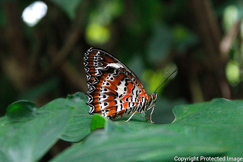 Red Lacewing, Kuranda, Far North Queensland