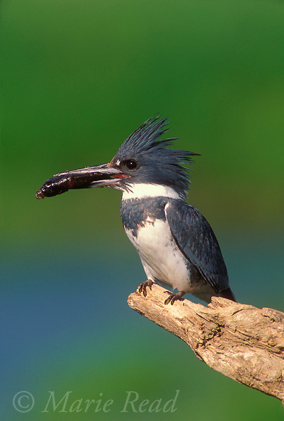 Belted Kingfisher (Ceryle alcyon) male holding a fish, New York, USA<br /> Slide # B86-174