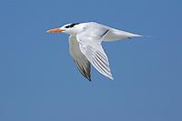 Royal Tern - Sterna maxima