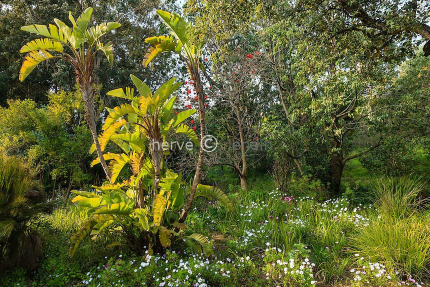 Le Domaine du Rayol:<br /> jardin d'Afrique du Sud. (Strelitzia nicolai, arbre de corail en fleurs...)