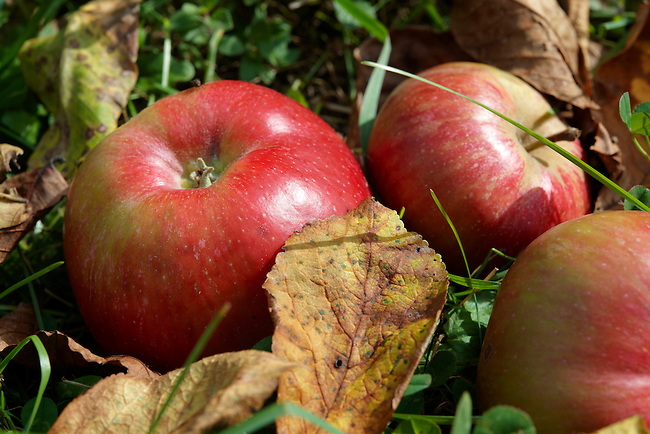 Fallen autumn red apples in an apple orchard
