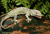 GK20-029x  Tokay Gecko - adult from south east Asia -  Gekko gecko