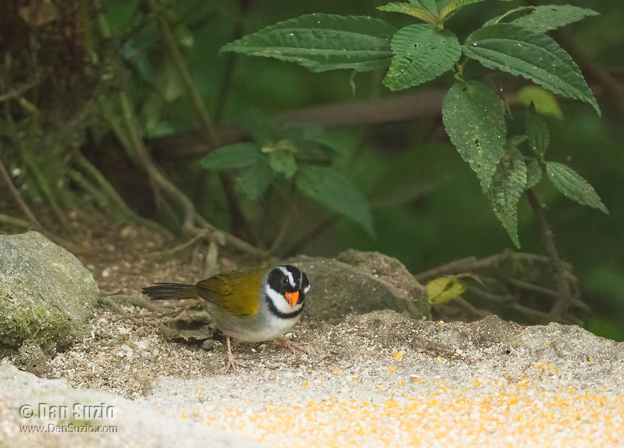 Orange-billed sparrow, Arremon aurantiirostris, approaches a feeder at San Jorge de Milpe Eco-Lodge, Mindo, Ecuador