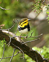 Juvenile male golden-cheeked warbler