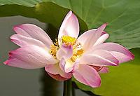 Floating Lotus, Chai Nat, Thailand