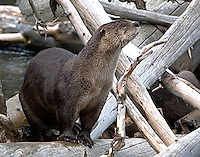 The River Otter (Lutra canadensis)<br />