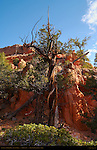 Juniper and Limber Pine, Cassidy Trail, Red Canyon, Dixie National Forest, Utah