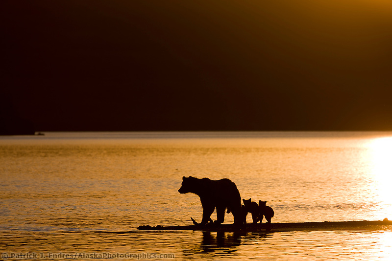Brown bear sow and triplet cubs of the year fish for salmon on the spit of Brooks River and Naknek lake, Katmai National Park, southwest, Alaska.