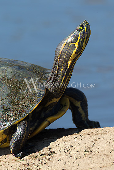 The Mesoamerican slider, a turtle seen on the Rio Tarcoles.