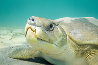 flatback sea turtle, Natator depressus, endemic to Australia and southern New Guinea, with congenital deformities of beak and nostrils, Australia; such birth defects are common in hatchlings, but they rarely survive to adulthood, as this one has