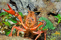 414490006 a wild pocambarus species of crayfish takes a defensive posture while sitting in a small pond on a ranch in south texas
