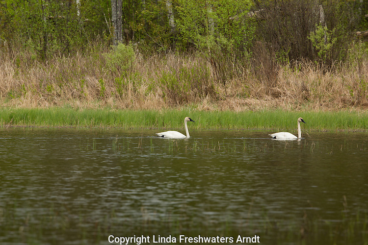 Pair of trumpeter swans swimming in a wilderness lake