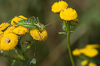 Gestreifte Zartschrecke, Weißfleckige Zartschrecke, Gebänderte Zartschrecke, Weibchen mit Spermatophore, frisst an Rainfarn, Leptophyes albovittata, Striped Bush-cricket, Striped Bushcricket, Striped Bush cricket, Lesser Speckled Bush-cricket, female, Sichelschrecken, Phaneropteridae
