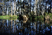 Louisiana, USA. Partly submerged trees and reeds reflected in the water of the bayou.