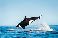 killer whale, or orca, Orcinus orca, attacking common dolphin, Delphinus delphis, Baja California, Mexico, Gulf of California, Sea of Cortez, Pacific Ocean