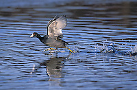 American Coot taking off. North America..(Fulica americana)..