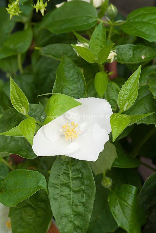Philadelphus x virginalis Natchez mockorange in white flowers bloom