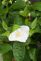 Philadelphus x virginalis Natchez mockorange in white flowers bloom