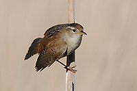 Adult Marsh Wren (Cistothorus palustris) displaying. Snohomish County, Washington. April.