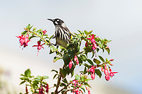A New Holland Honeyeater (Phylidonyris novaehollandiae) takes a break from feeding on the nectar of fuchsia flowers, Adelaide, South Australia.