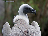 0216-08oo  African White-backed Vulture, Gyps africanus © David Kuhn/Dwight Kuhn Photography
