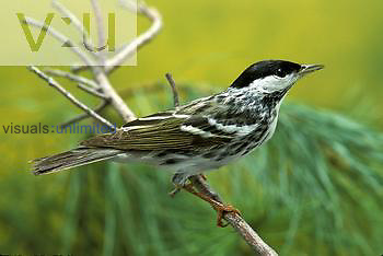Blackpoll Warbler male in breeding plumage, neotropical migrant