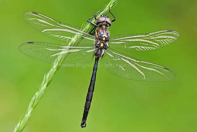 A Clamp-tipped Emerald dragonfly hanging on a grass stalk.