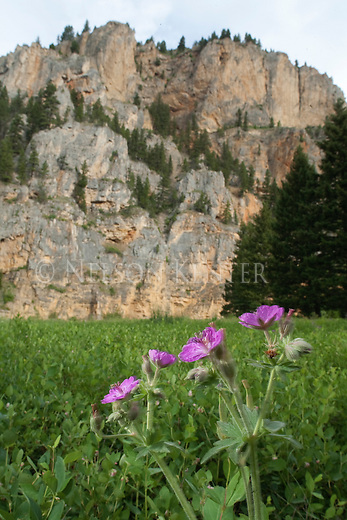 Sticky Geranium wildflower and a rock wall in the Smith River corridor
