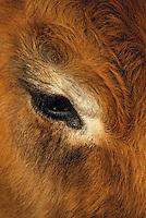 Europe/France/Auvergne/12/Aveyron: Aubrac - Buron de canut - Vache de race Aubrac