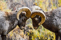 Two Big Horn Sheep Rams size each other up during the Fall rut in Colorado.