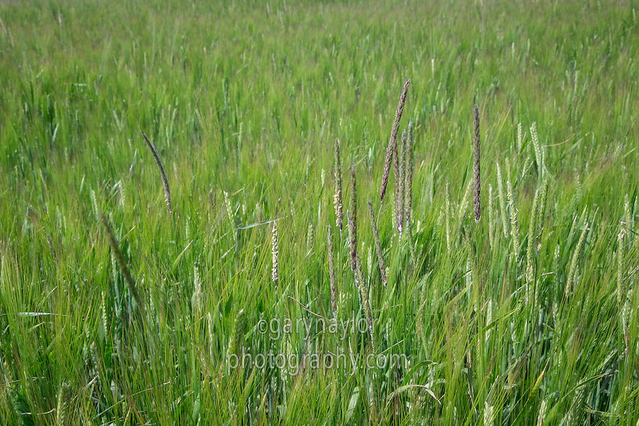 Black grass shedding seed in barley - Lincolnshire Wolds, July